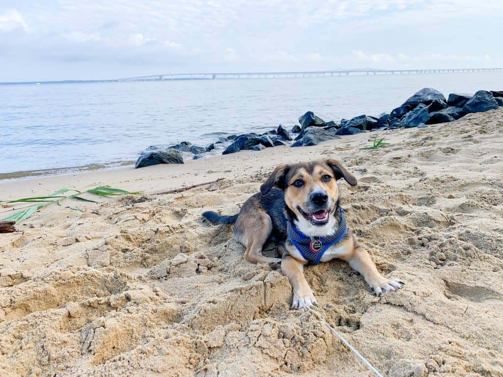 "Pet of the Week: ""Frankie is an 8 month old puppy who loves living in and exploring Silver Spring!"" - ""Frankie is an 8 month old puppy who loves living in and exploring Silver Spring! He's full of energy and his tail never stops wagging when he's around people or other pups!"""